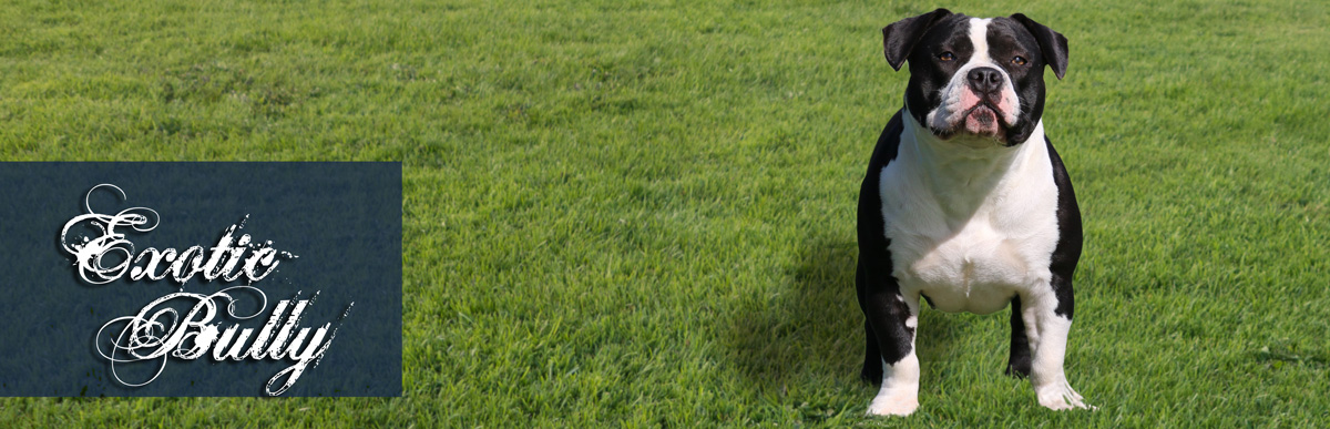 Stone Bull Exotic Bulldog Uber Die Rasse Exotic Bully